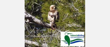 Águila calzada en la Albufera (Bootle Eagle)