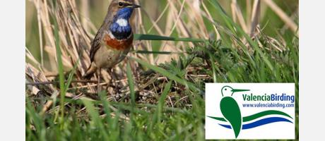 Pechiazul - Bluethroat