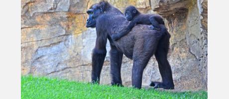 mama gorila