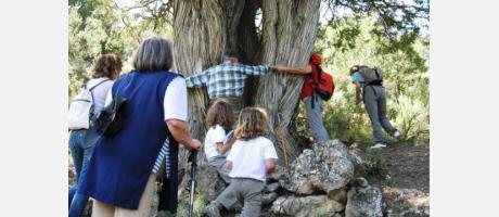Rodeando un olivo milenario