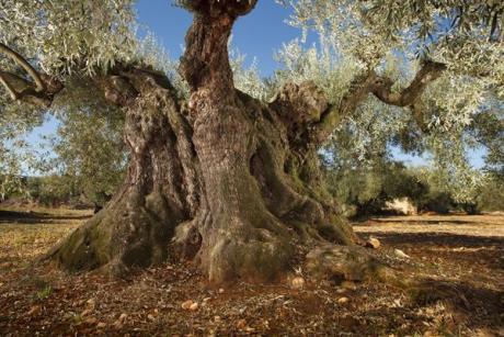 El Maestrat, eine Route unter tausendjährigen Olivenbäumen