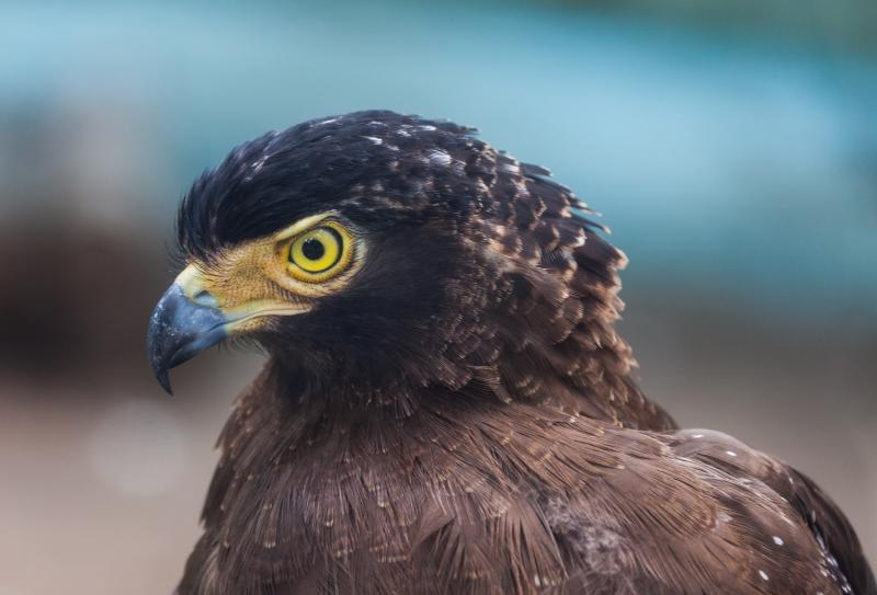 Birdwatching invernal-Águila perdicera