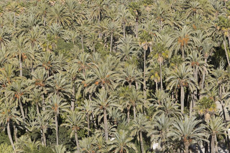 Panorámica del Palmeral de Elche