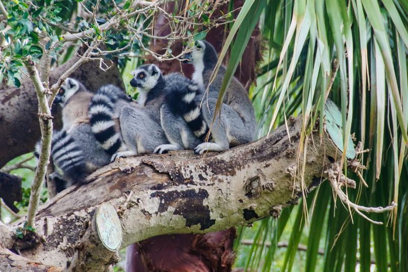 Leones en el Bioparc