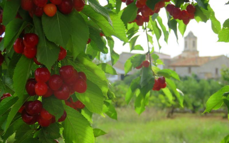 Cerezas de Salzadella