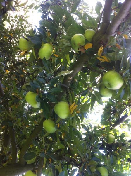 Receta con mazana pasariega