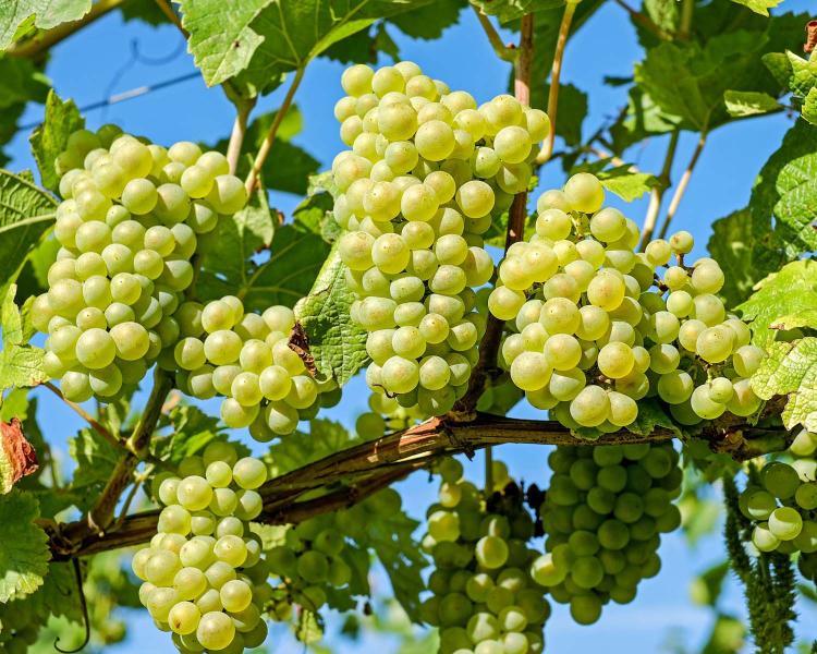 La tradición de las 12 uvas
