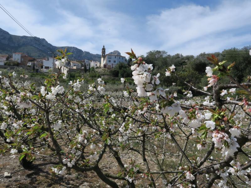 Cerezos Vall Gallinera 2